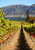 Vineyard. In Cape Town with Mountain at the back royalty free stock photo