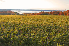 The vineyard Royalty Free Stock Photography