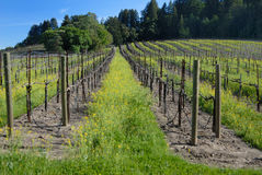 Vineyard #68. Vineyard in the Sonoma Valley stock photography