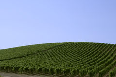Vineyard Royalty Free Stock Image