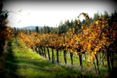 Vineyard. During fall in Grass Valley, CA Stock Image