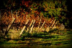 Vineyard. During fall in Grass Valley, CA Stock Images