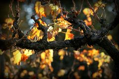 Vineyard. During fall in Grass Valley, CA Royalty Free Stock Photography