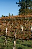 Vineyard. During fall in Grass Valley, CA stock photos