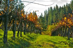 Vineyard. During fall in Grass Valley, CA Stock Photo