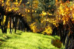 Vineyard. During fall in Grass Valley, CA Royalty Free Stock Photos