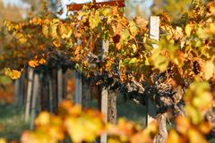Vineyard. During fall in Grass Valley, CA Royalty Free Stock Image