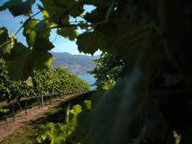 The vineyard. View through the grapes of vineyard, with lake off in the distance Stock Photo