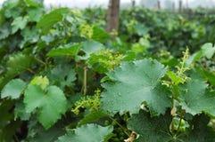 Vineyard 8 stock photo