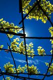 Vineyard. A vineyard against the bright blue sky.The sun is blocked by the foreground Stock Photo