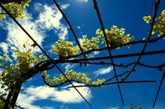 Vineyard. A vineyard against the bright blue sky.Great contrast on the clouds Stock Photo