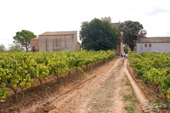 Vineyard Royalty Free Stock Image