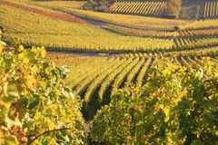 Vineyard. A background with a view of a huge vineyard in Autumn Royalty Free Stock Photos