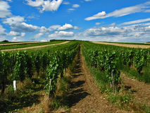 Vineyard. In austria under blue sky Royalty Free Stock Photo