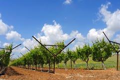 Vineyard. Nice vineyard at spring under great sky Stock Photography