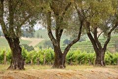 Vineyard. California vineyard lined with large oaks Royalty Free Stock Image