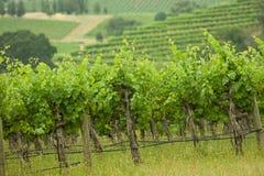 Vineyard. Small private california grape vineyard Stock Photography