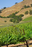Vineyard. Small private california vineyard with oaks and blue sky Royalty Free Stock Photography