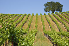 Vineyard. Small private california vineyard with oak tree and blue sky Stock Photo