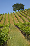 Vineyard. Small private california vineyard with oak tree and blue sky Royalty Free Stock Photography