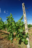 Vineyard. Borgonato (Bs),Franciacorta,Lombardy,Italy, a vineyard of Chardonnay grapes for sparkling vine in June Stock Photography