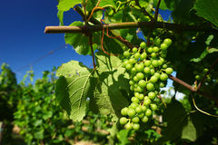 Vineyard. Borgonato (Bs),Franciacorta,Lombardy,Italy, a vineyard of Chardonnay grapes for sparkling vine in June Royalty Free Stock Photo