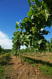 Vineyard. Borgonato (Bs),Franciacorta,Lombardy,Italy, a vineyard of Chardonnay grapes for sparkling vine in June Royalty Free Stock Image