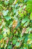 A dangerous disease of grape Mildew - downy mildew  lat. Plasmo Stock Photography