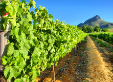 Vineyard against awesome mountains - close view Royalty Free Stock Photos
