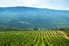 Vineyard against mountain Stock Image