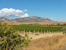 Vineyard against mountains in eastern Crimea in September. Vineyard on a background of mountains and blue sky on the eastern Crimea autumn stock photo