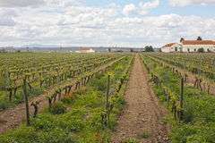 Vineyard and agricultural fields. In the lands of a farm in Cartaxo, Portugal stock images