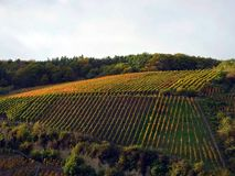 Vineyard at Ahrweiler. Rhineland-Palatinate in sommer royalty free stock photography