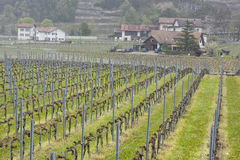Vineyard - Aigle, Switzerland. Stock Image