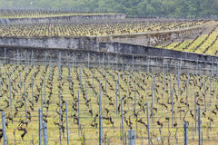 Vineyard - Aigle, Switzerland. Stock Images