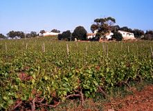 Vineyard, Algarve, Portugal. Royalty Free Stock Photos