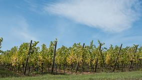 Vineyard alignment in autumn with blue sky background Stock Photos