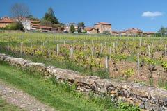 Vineyard along the wall Stock Image