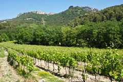 Vineyard in the Alpilles Royalty Free Stock Photography
