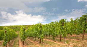 Vineyard in Alsace Royalty Free Stock Image