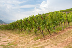 Vineyard in Alsace Royalty Free Stock Photos