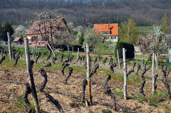 Vineyard In Alsace. Typical cottages and vineyard In Alsace region of France Stock Image