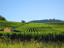 Vineyard in Alsace stock photography