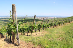 Vineyard of Alsace (Colmar) Stock Photography