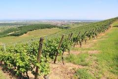 Vineyard of Alsace (Colmar) Stock Image