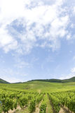 Vineyard from Alsace. France Stock Photo
