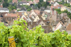 Vineyard from Alsace. France Stock Image