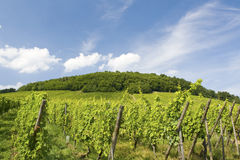 Vineyard from Alsace. France Royalty Free Stock Photo