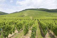 Vineyard from Alsace. France Royalty Free Stock Photos