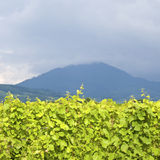 Vineyard,in Alsace. France. Stock Images